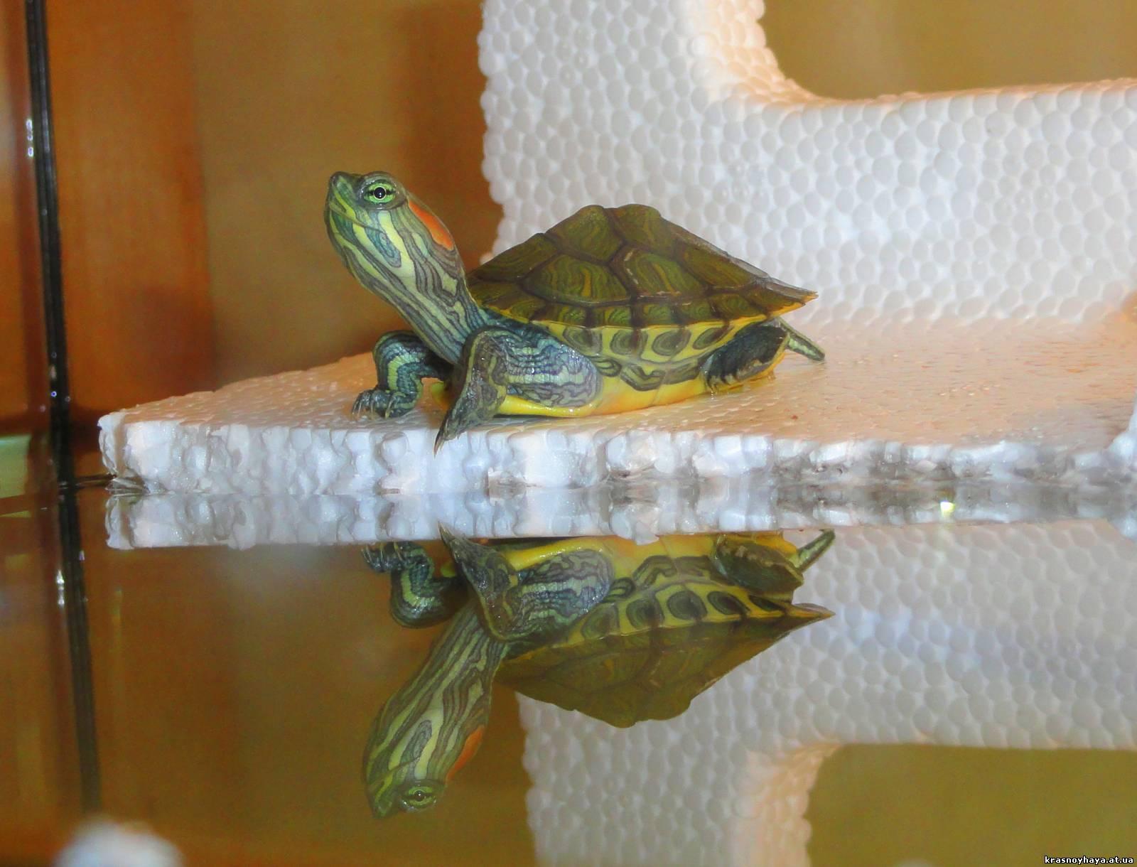 переезд черепахи