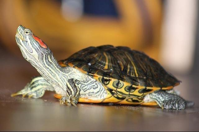 траспортировка черепахи